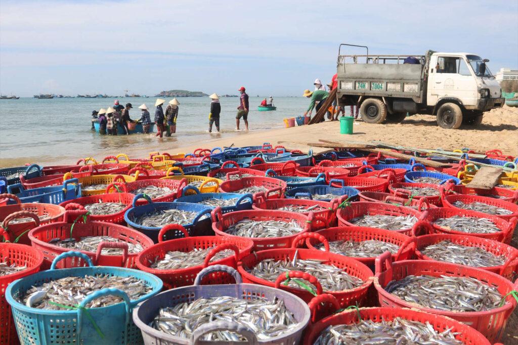 Mùa cá cơm Phan thiết - Mũi né - Phanthietgo.com